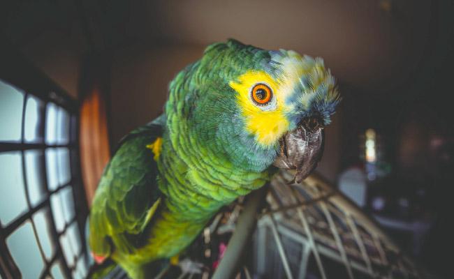 Nomes para Papagaios de estimação
