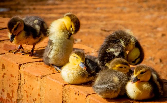 Nomes para Patos de estimação
